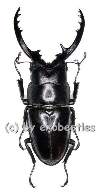 Prosopocoilus forficula forficula  ( 55 - 59 )