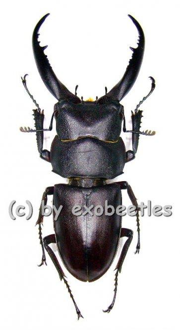 Prosopocoilus ( Epidorcus ) gracilis  ( 30 – 34 )