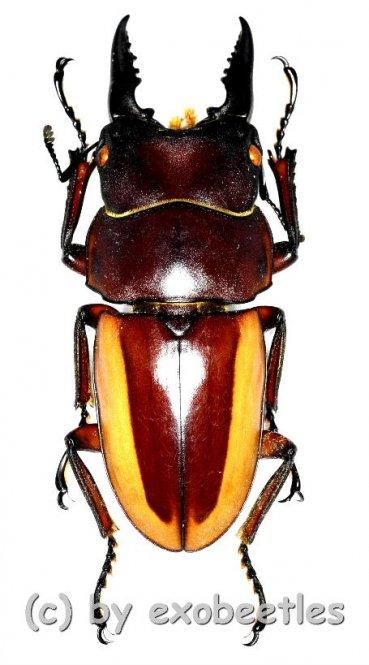 Prosopocoilus lateralis lorquinii ( mesodonte )  ( 40 – 44 )