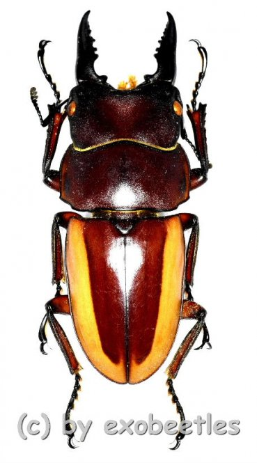 Prosopocoilus lateralis lorquinii ( mesodonte )  ( 35 – 39 )
