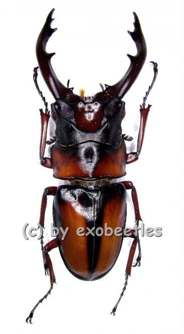 Prosopocoilus mirabilis  ( 55 - 59 )