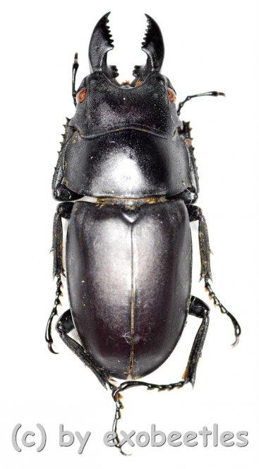 Prosopocoilus oweni ssp.ovatus  ( 30 - 34 )