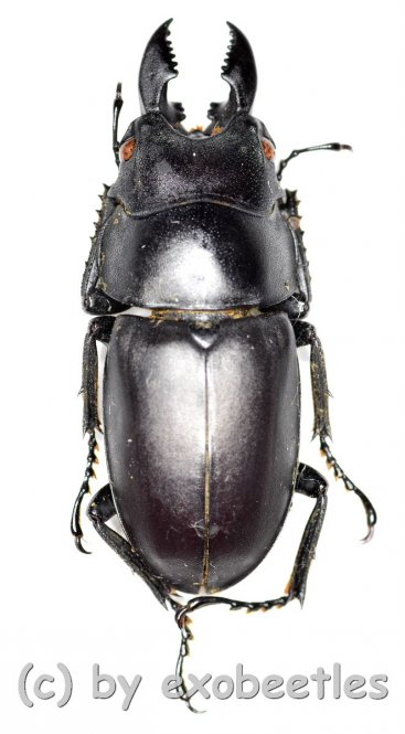 Prosopocoilus oweni ssp.ovatus  ( 25 - 29 )  A2