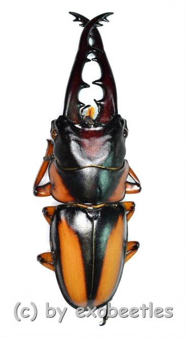 Prosopocoilus savagei savagei  ( 55 – 59 )  A1-