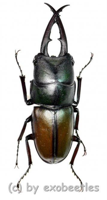 Prosopocoilus spec.  ( 30 – 34 )