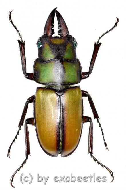 Prosopocoilus spec.  ( 25 – 29 )