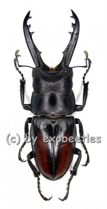Prosopocoilus spineus  ( 40 - 44 )