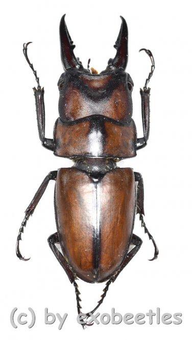 Prosopocoilus suturalis  ( 35 - 39 )