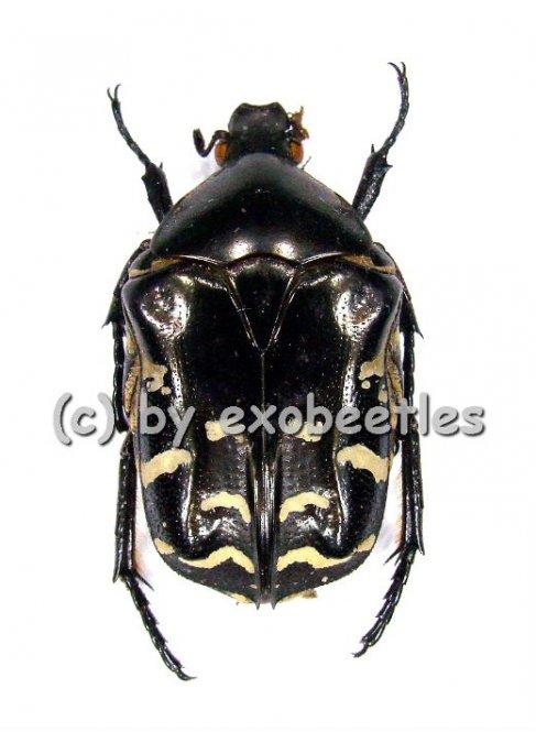 Protaetia ( Protaetia ) celebica var.1