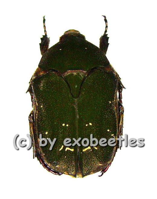Protaetia ( Protaetia ) hageni  ( 20 - 24 )