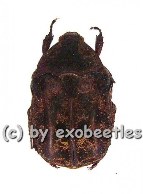 Protaetia ( Protaetia ) obscurella  ( 15 - 19 )