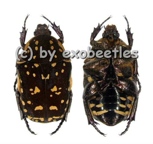 Protaetia ( Protaetia ) scepsia ( braune var. )