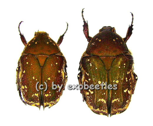 Protaetia ( Netociomima ) solorensis  ( 15 - 19 )