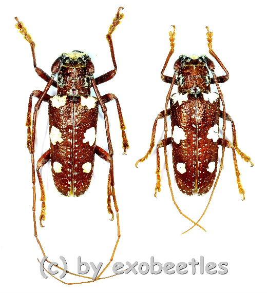 Protorrhopala sexnotata  ( M 20 - 24 )