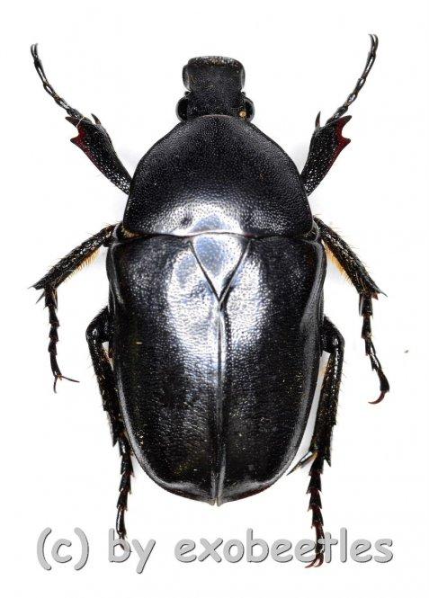 Pseudotorynorrhina fortunei  ( 20 – 24 )