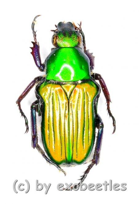 Pygora prasinella  ( 10 - 14 )