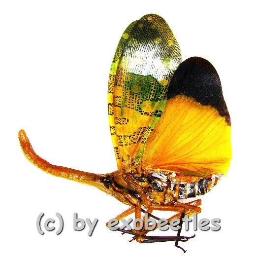 Pyrops candelaria ( orange Nase )