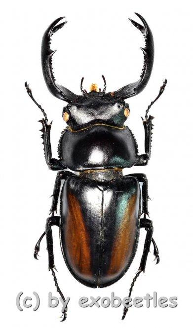 Rhaetulus crenatus kawanoi  ( 45 – 49 )