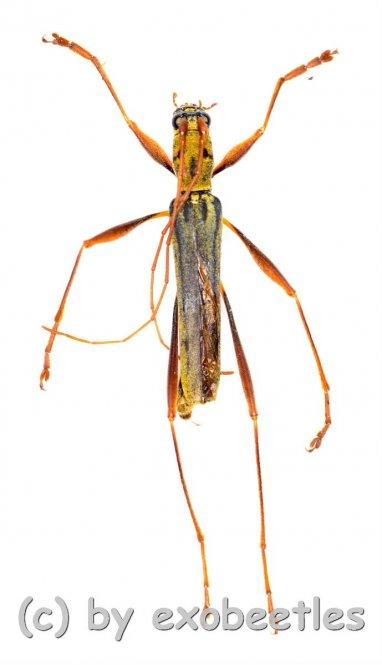 Rhaphuma spec.  ( 15 - 19 )