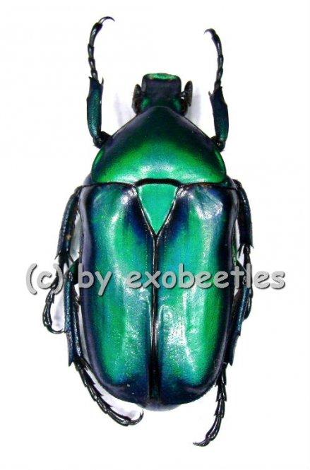 Rhomborrhina resplendens chatanayi ( blau / grüne var. )  ( 30 – 44 )