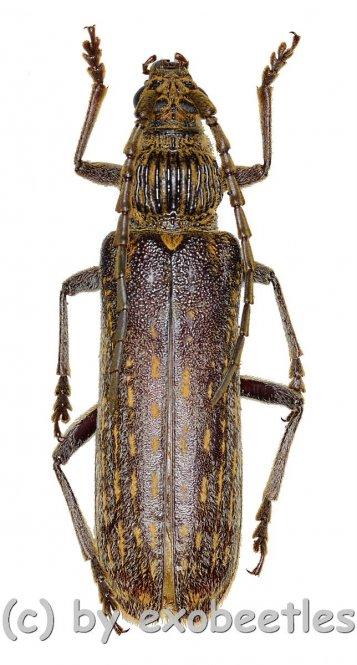 Rhytidodera bowringii  ( 35 - 39 )  A2