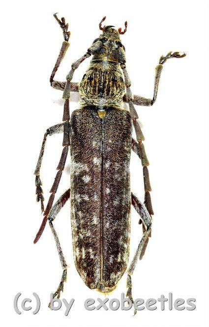 Rhytidodera integra  ( 35 - 39 )