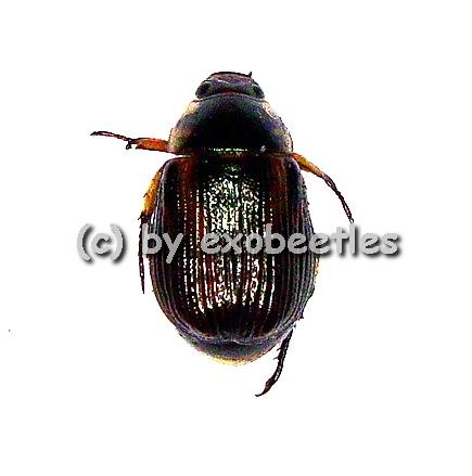 Rutelidae spec. #1  ( 5 - 9 )