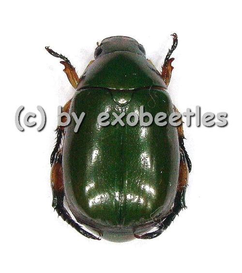 Rutelidae spec. #12  ( 15 - 19 )