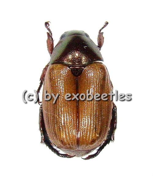 Rutelidae spec. #6  ( 10 - 14 )