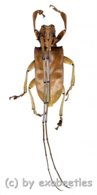 Sarothocera lowii  ( 40 - 44 )  A1-