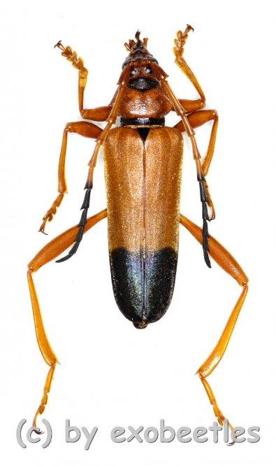 Schmidtiana apicalis  ( 35 - 39 )  A2