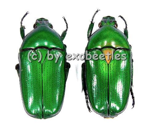 Smaragdesthes ( Chlorocala ) africana africana  ( 20 - 24 )
