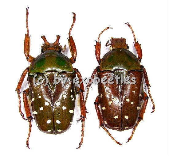 Stephanorrhina princeps ssp.princeps  A1-