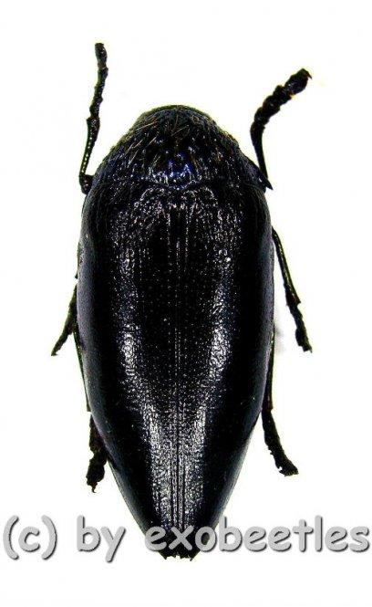 Sternocera orissa variabilis ( schwarze var. )  ( 30 - 34 )