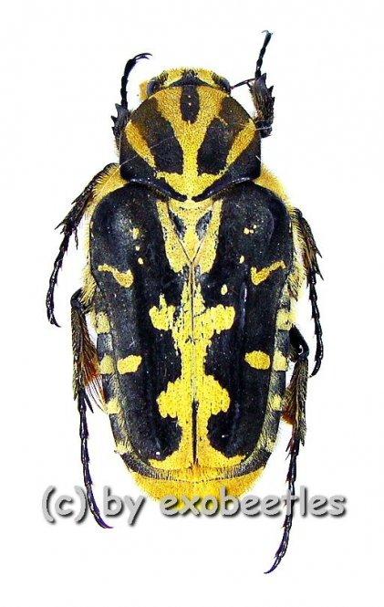 Taeniodera salvazai  ( 15 - 19 )