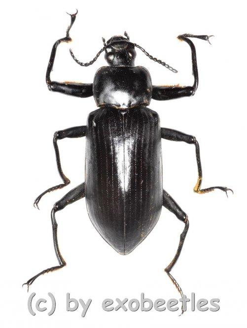 Tenebrionidae spec. #22  ( 35 - 39 )