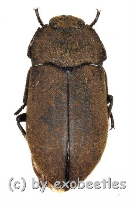 Tenebrionidae spec. #24  ( 10 - 14 )