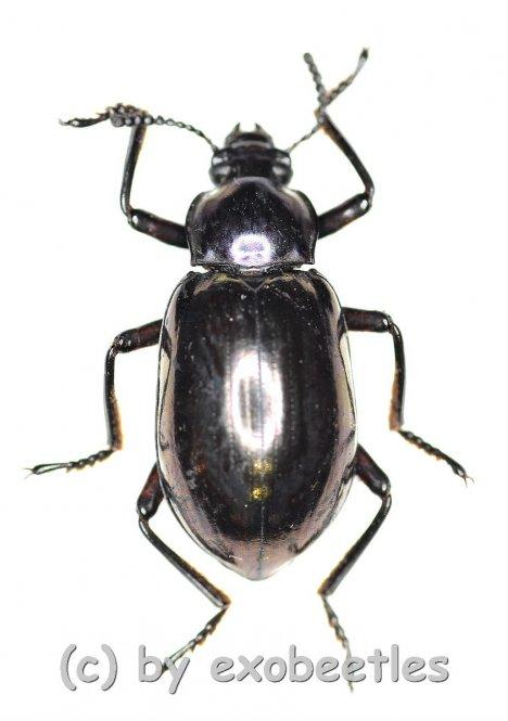 Tenebrionidae spec. #28  ( 15 - 19 )