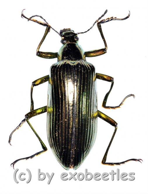 Tenebrionidae spec. #30  ( 30 – 34 )