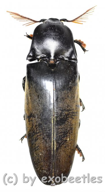 Tetralobus perroti  ( 55 – 59 )