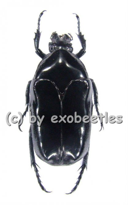 Thaumastopeus miksici  ( 20 - 29 )