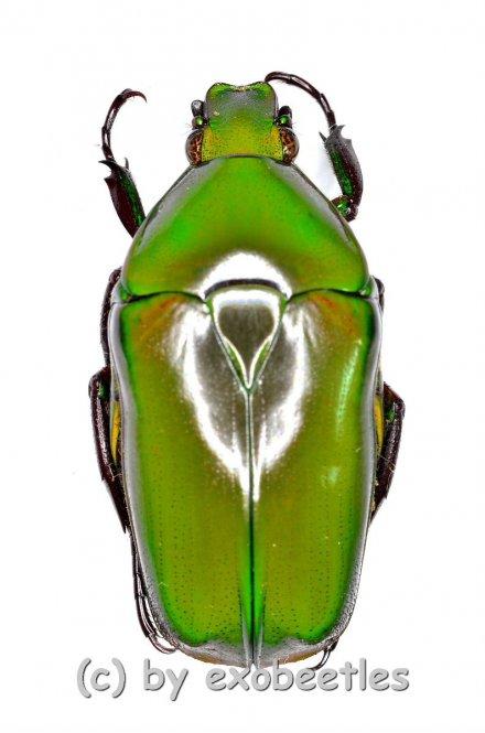Tmesorrhina iris saundersi  ( 20 – 24 )