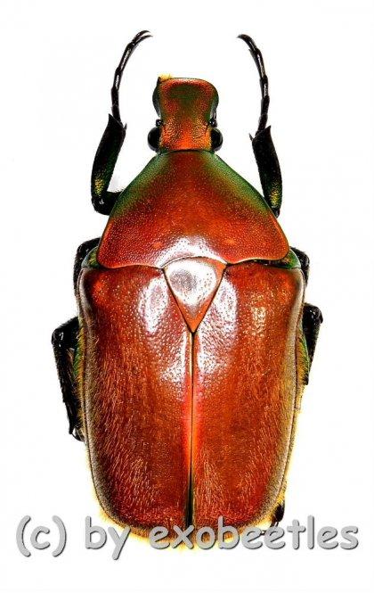 Torynorrhina pilifera  ( 25 – 34 )