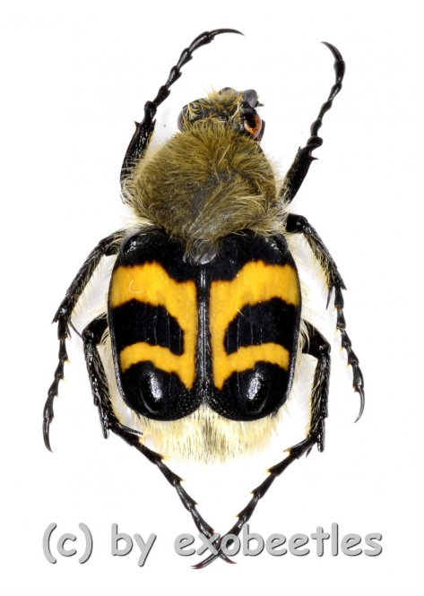 Trichius fasciatus  ( 10 - 14 )