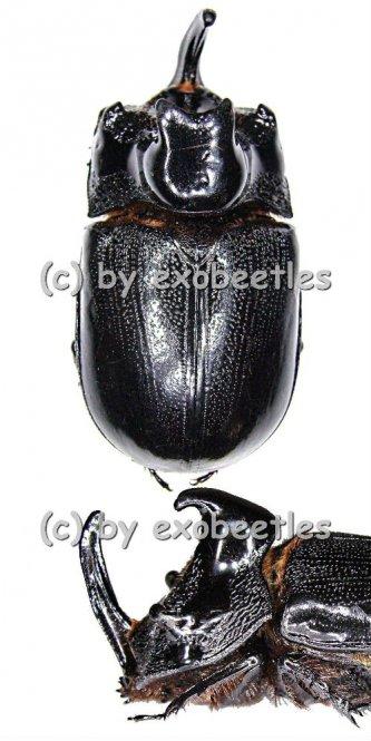 Trichogomphus martabani  ( 55 – 59 )