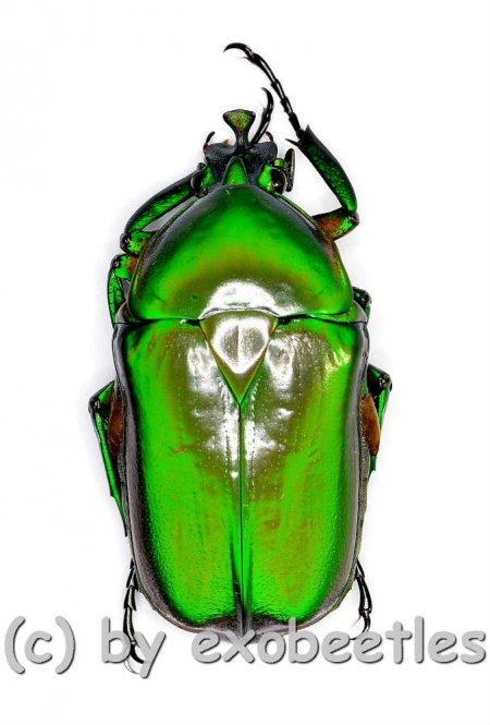 Trigonophorus dilutus  ( 25 – 29 )