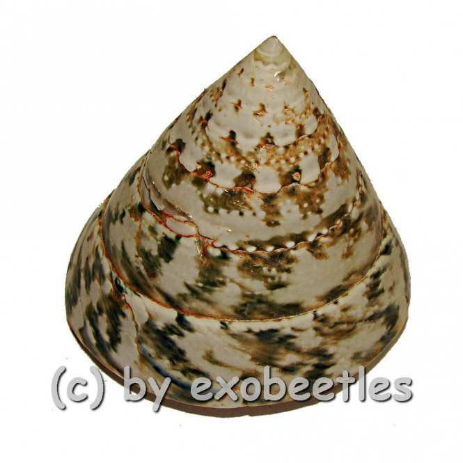 Trochus pyramis ( Kreiselschnecke ) poliert  ( 55 - 65 )