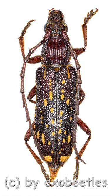 Xoanodera maculata  ( 25 - 29 )