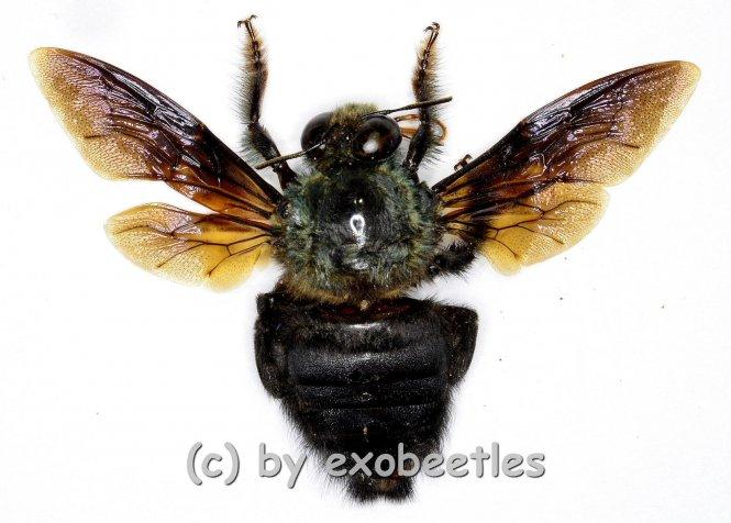 Xylocopa caerulea
