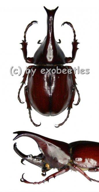 Xylotrupes gideon gideon  ( 65 – 69 )